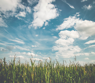 Corn field and blue sky with clouds